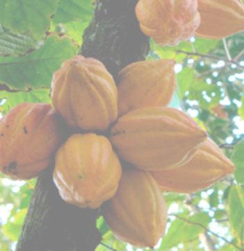 cacao0